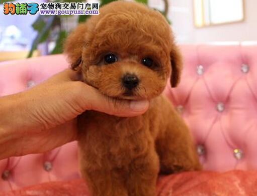 家养小体型茶杯泰迪犬出售 玩具犬可见父母 包一年退换