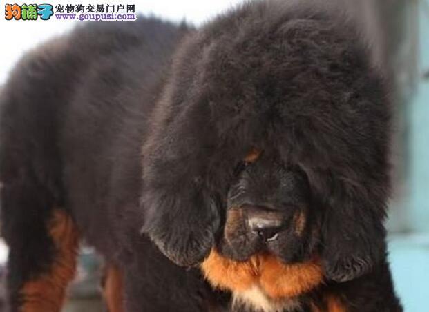 名獒之子-纯种大狮头掉眼掉嘴藏獒出售