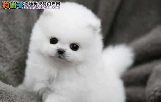 100%纯种健康的白山博美犬出售签正规合同请放心购买