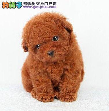 正规CKU犬舍出售邢台纯种可爱泰迪 健康可爱 绝对质保