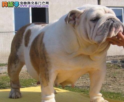 纯种英国斗牛 英牛幼犬天津市出售 健康保障包运费