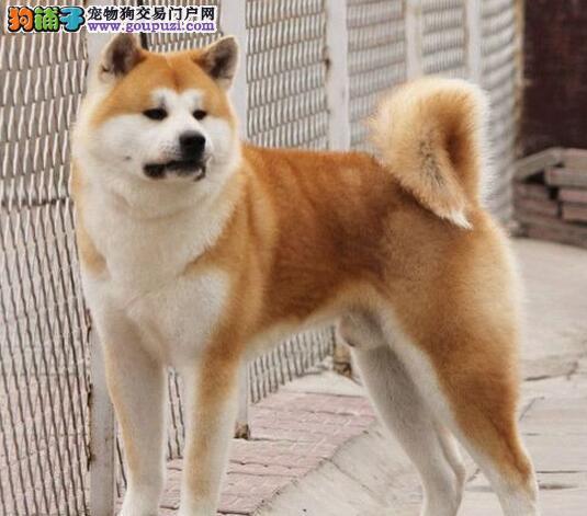 养殖场直销完美品相的秋田犬微信选狗直接视频2