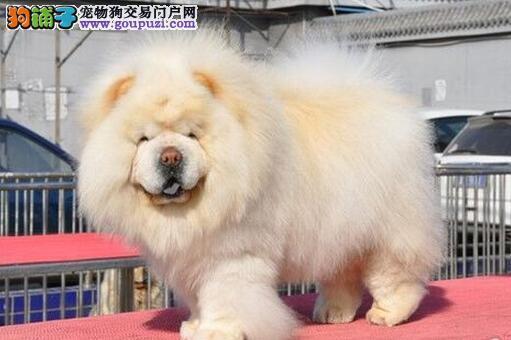杭州售纯种极品【松狮】购买签订协议 终身质保