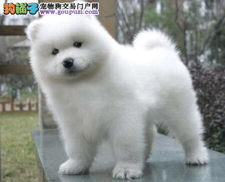南京纯种萨摩耶幼犬出售 微笑天使小萨价格可少可优惠