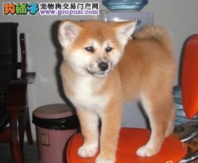海口狗场出售日系秋田犬 可以上门选购爱犬看种犬