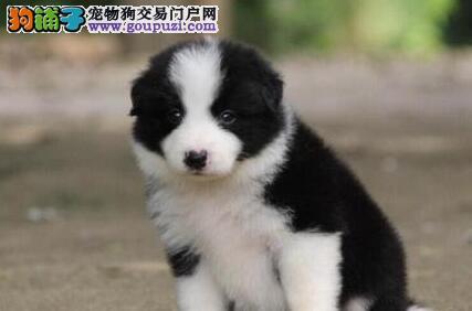 广州市出售边境牧羊犬 七白三通到位 大围脖 骨骼大