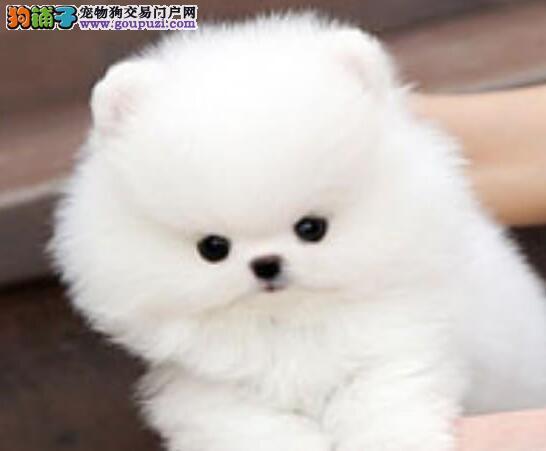 英系博美犬俊介犬保纯种保健康出售重庆自家繁殖有保障