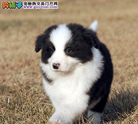 赛级双血统的海口边境牧羊犬找新家 签订售后协议书