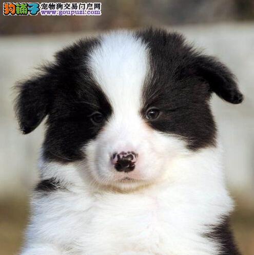 阳江出售纯种边境牧羊犬幼犬品质保证公母全有可挑选