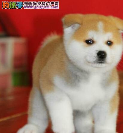 广元纯种忠犬八公秋田犬出售终身保障血统纯正宁缺毋滥