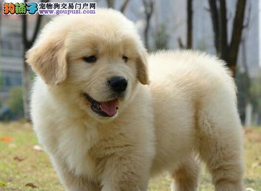 转让极品大骨架福州金毛犬 正规养殖基地专业繁殖