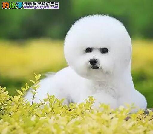 北京性格温顺的比熊宝宝出售 大眼睛可爱 大毛量比熊