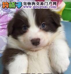 多色纯种福州边境牧羊犬直销价格出售 非常勿扰售后好