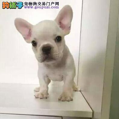 上海实体店出售精品法国斗牛犬保健康带血统证书签活体协议