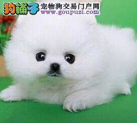 精品高品质博美犬幼犬热卖中微信看狗可见父母
