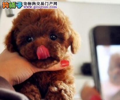 广东自家狗场繁殖直销泰迪犬幼犬品相一流疫苗齐全3