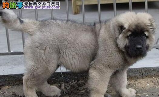 长沙CKU认证犬舍出售高品质高加索可直接微信视频挑选
