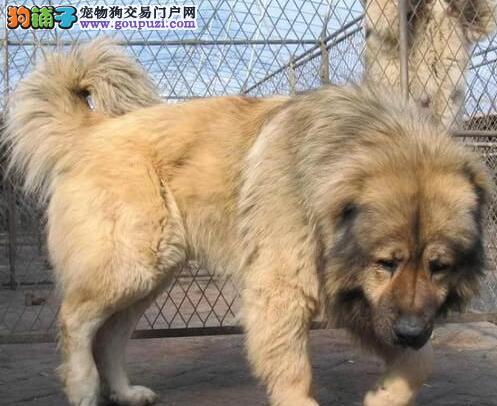 上海大骨架大长毛、最好的高加索犬,血统优秀