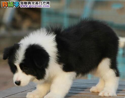 上海黄浦区售智商第一边牧,边境牧羊犬 聪明活泼