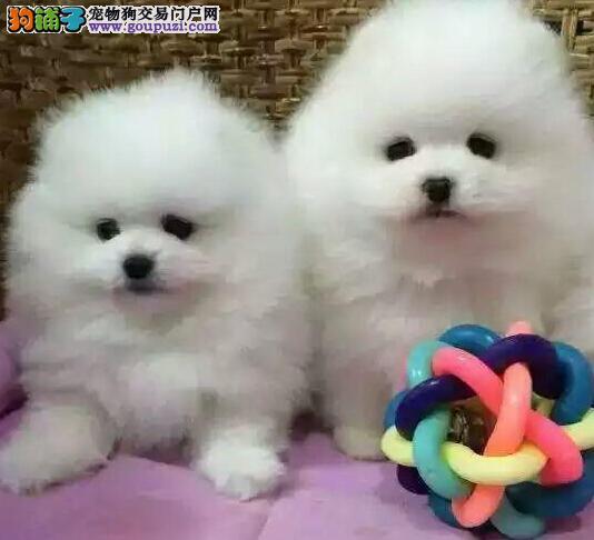 北京售纯种健康 哈多利系博美俊介犬 博美犬松鼠犬幼犬2