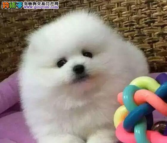 北京售纯种健康 哈多利系博美俊介犬 博美犬松鼠犬幼犬3