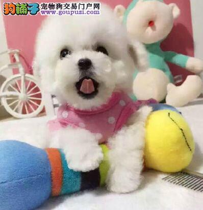 北京售纯种健康 哈多利系博美俊介犬 博美犬松鼠犬幼犬
