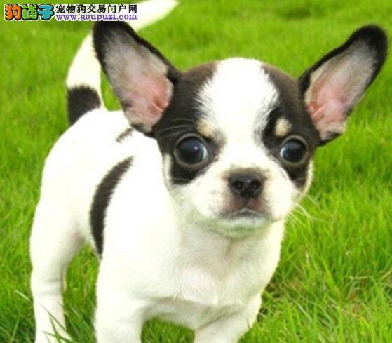 出售品相好体型佳苹果头的吉林吉娃娃幼犬 欲购从速