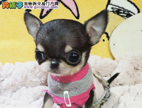 黄石市犬舍直销小体苹果头吉娃娃幼犬无异味不掉毛好养