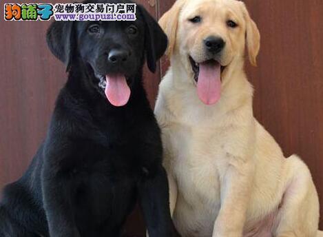 转让赛级品质的柳州拉布拉多犬 拥有五星级的售后服务