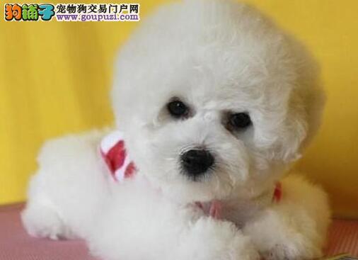 岁末狂欢 上海市售比熊犬可送上门 疫苗做齐、签协议