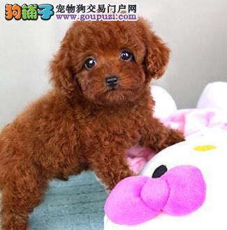 西双版纳出售极品泰迪犬幼犬完美品相我们承诺售后三包4