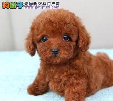 揭阳繁育出售玩具体茶杯体精品泰迪犬纯种包健康