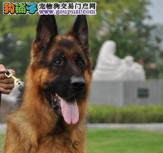 顶级血统赛级纯种德国牧羊犬(本月 八折)