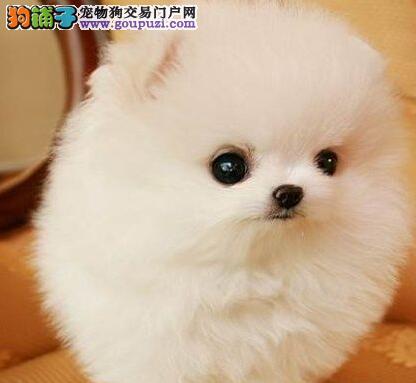 苏州本地犬舍出售精品小体博美俊介犬终身质保包纯种