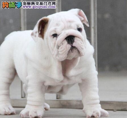 常州狗场出售高品质英国斗牛犬 可上门看狗挑选看种犬3
