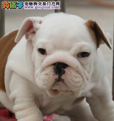 常州狗场出售高品质英国斗牛犬 可上门看狗挑选看种犬2