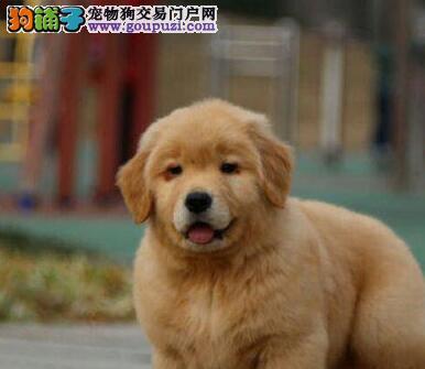 上海市大头版大骨量英系美系金毛巡回犬