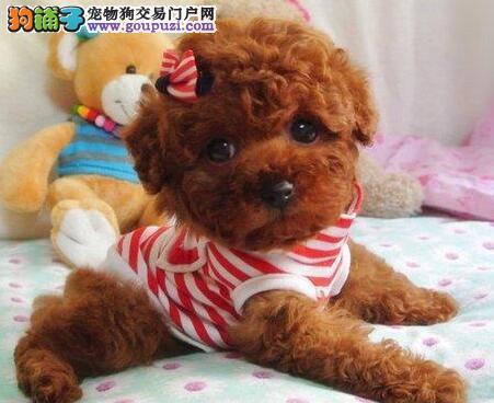 赛级贵宾幼犬太原出售中 很可爱萌翻啦 质量三包