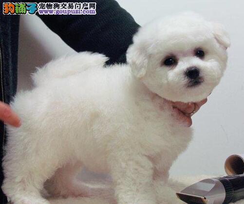 上海出售繁殖小体比熊犬幼犬血统纯正健康品质保证4