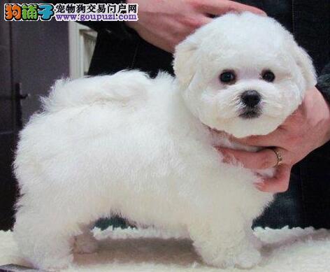 上海出售繁殖小体比熊犬幼犬血统纯正健康品质保证3