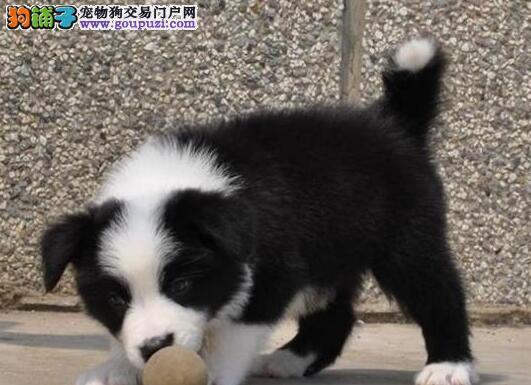 极品边境牧羊犬出售、可看狗狗父母照片、全国送货上门