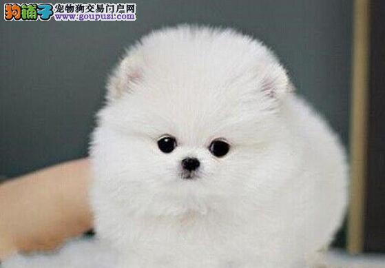 广州出售哈多利版博美犬幼犬 纯正健康博美可送货上门