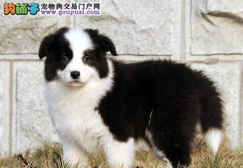 广州边境牧羊犬价格 广州宠物狗 广州繁殖场在哪里