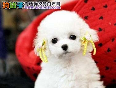 长春专业养殖基地出售韩系泰迪犬 血统有保障纯度高3