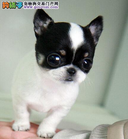出售活泼可爱超小体型的保定吉娃娃 签订终身购犬协议