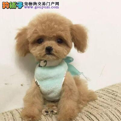 长春专业养殖基地出售韩系泰迪犬 血统有保障纯度高1