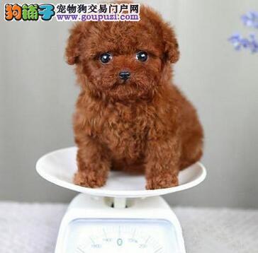 北京正规狗场 出售玩具茶杯迷你贵宾幼犬 巨型贵宾犬