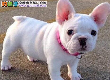 法国斗牛犬莆田最大的正规犬舍完美售后质保三年支持送货上门