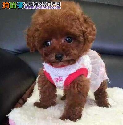 合肥高品质泰迪犬带血统出售终身质保质量三包可送货