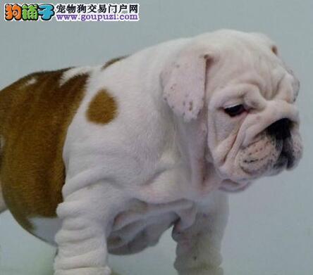 超低价出售自家繁殖的杭州斗牛犬 可随时上门看狗
